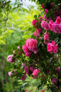 pink roses in blossom falling down on a wall