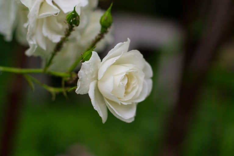 white roses in bloom on a blurred green background